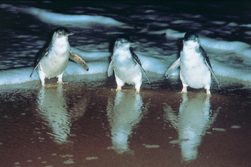 Penguins returning with their bellies full of food for the babies!