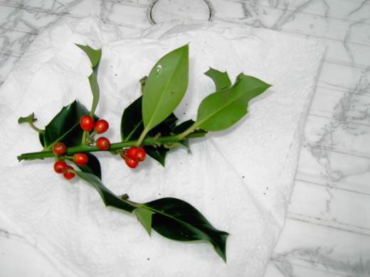 THE SPINY LEAVES AND RED BERRIES HAVE STEEPED THE HOLLY IN FOLKLORE FOR CENTURIES. NOTE THE LACK OF SPINES ON SOME OF THE FOLIAGE