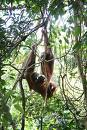 Orang-utans:  The Arboreal Missionary Position!  That's one to try!      flicr.com photo