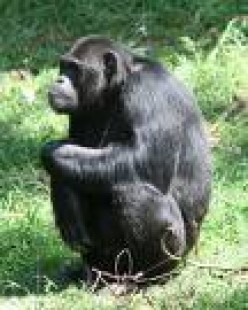 The Chimpanzee; man's closest relative and look how unhappy he looks!      travel.mongablog.com