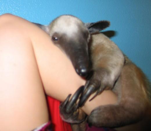 tamandua anteater pet images amp pictures   becuo