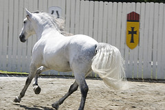 A Beautiful free spirited Lusitano horse