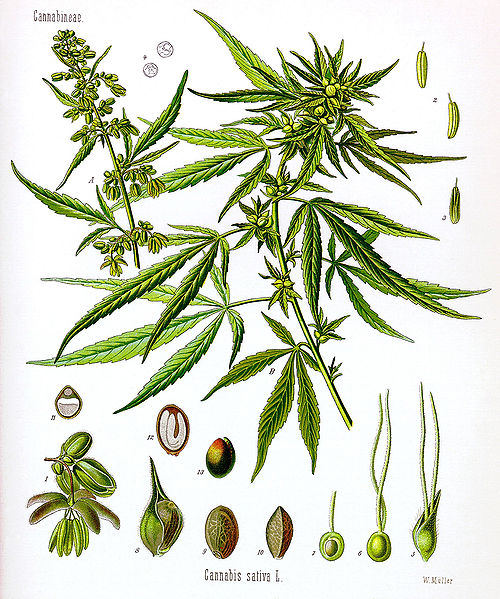 Cannabis Drawing. Image Credit Wikicommons