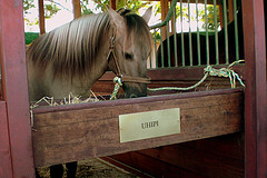 A contented Lusitano in its Stable