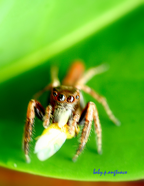 jumping spider, a common bug in my garden