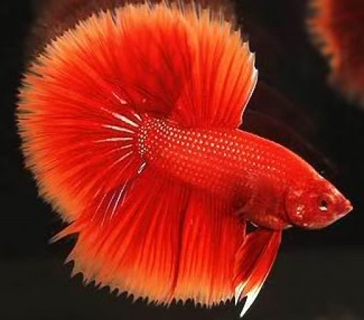 Betta Keeping and Breeding the Siamese Fighting Fish