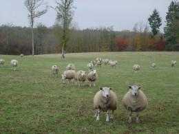 Mushrooms like the sheep field but beware!