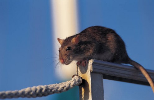 Rats carry disease.