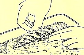 3 & 4. Dip cut surface in hormone rooting powder and push the leaf, vein edge downwards, into pot or seed tray.
