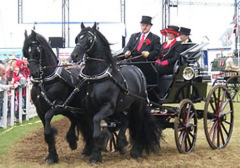 The epitomy of elegance in this matched pair of carriage horses.