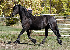 The brisk trot, typical of the breed