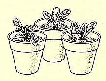 6. When growing well, re-pot in separate small pots.