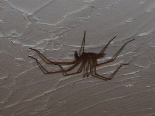This spider crawling along the ceiling would cause consternation with many people. Wikipedia public domain.