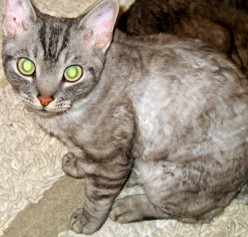 Devon Rex Cats