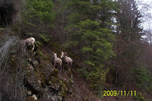 Rocky mountain bighorns visit