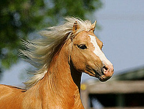 Proud Palomino Pony showing the delicately chiseled head.