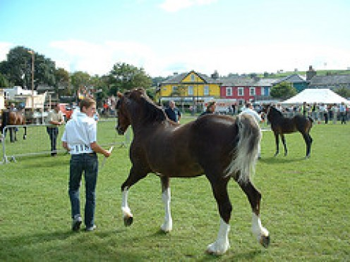 A well built and well turned out Welsh Cob.