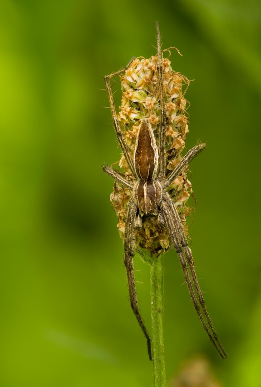 nursery web spider is common and widespread in gardens; Wikipedia public domain