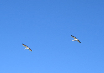 Pelicans soaring