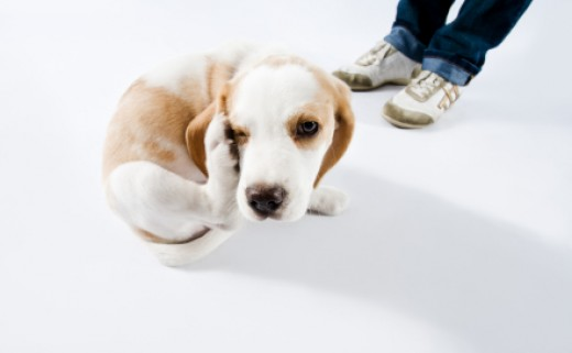 Dog fleas on a not so happy Beagle