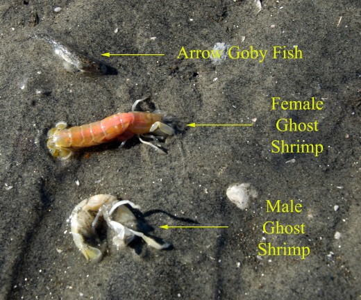 Contents of one burrow. Ghost shrimp are almost always found in pairs.