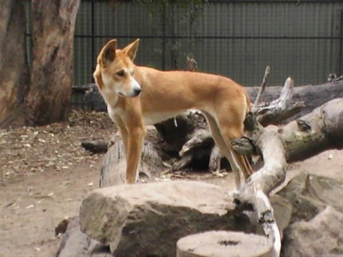 The Australian native dog the Dingo.
