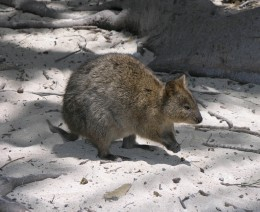 The Quokka is a native of Rottnest and is a marsupial.