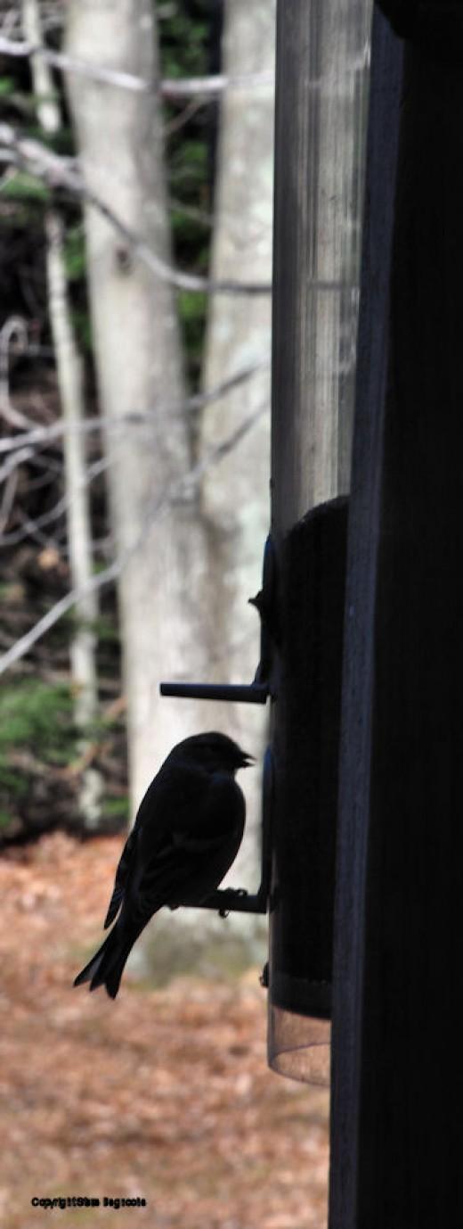 A finch is silhoutted feeding near the kitchen window.