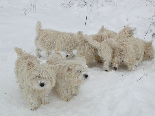 Anyone want a puppy? (In case you're wondering, they're West Highland Terriers)