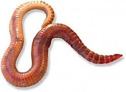Uncovering the Growth Stages of Red Wiggler Worms