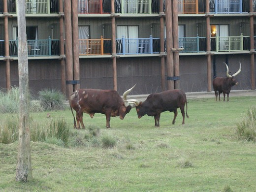 These are some African cattle type animals who live on the Savannah at Animal Kingdom Lodge at Walt Disney World