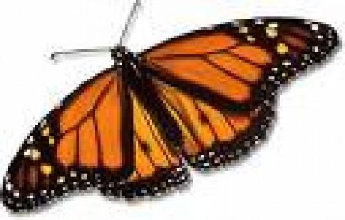 Monarch Butterfly    fohn.net photo