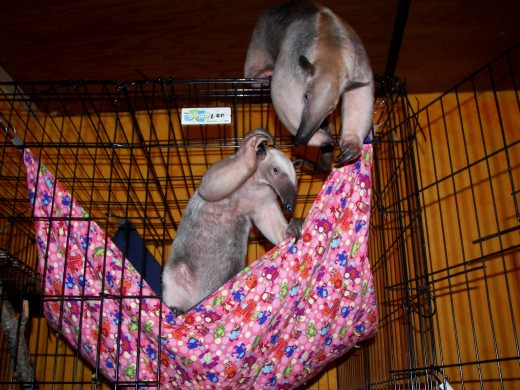 Pua in their last hammock, made with a baby blanket as bottom