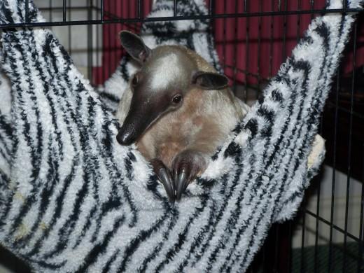 Pua in her first pocket hammock