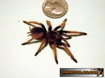 The the Mexican Pink or the Rose Leg and has the scientific name Brachypelma klaasi. Picture courtesy of www.tarantulas.com
