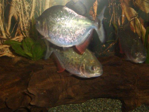The dreaded Piranhas of the Amazon.