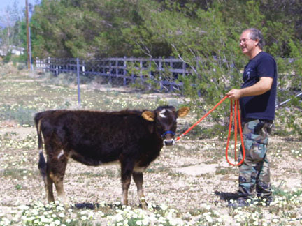 The under-sized miniature cows, aren't they cute eh!!!