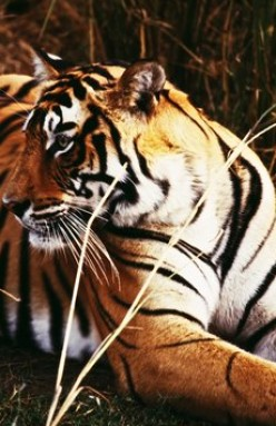 Eight Fun and True Facts on Tigers