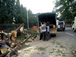 4.The Cut tree is transported quickly to avoid Green Peace People.