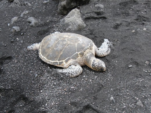 Turtle sleeping in the warm sand.