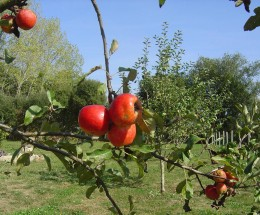 You will find apples grown in every garden.