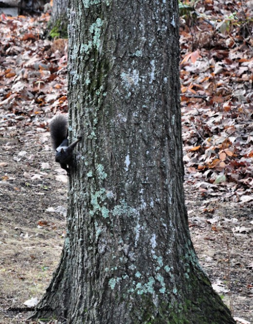 A black squirrel surveys the yard from the trunk of an oak tree.