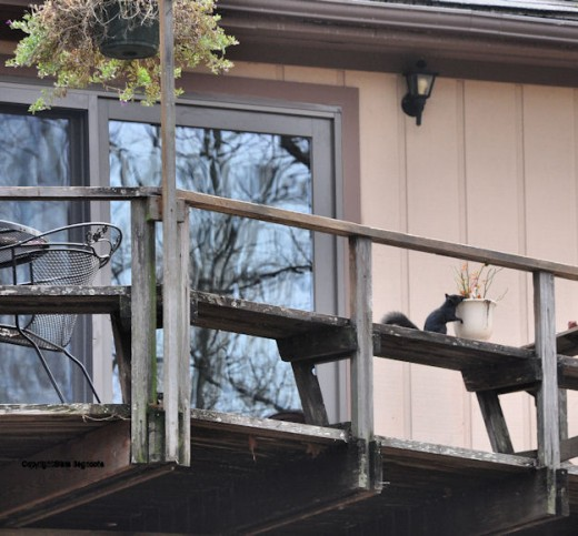A black squirrel checks out a flower pot on the back deck.