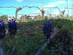 The vines before budbreak and some light spring groundcover