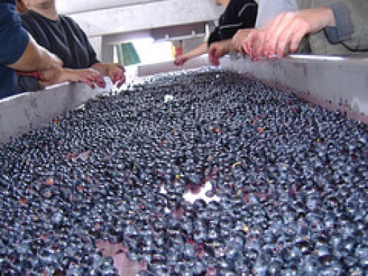 Grape sorting table at harvest time