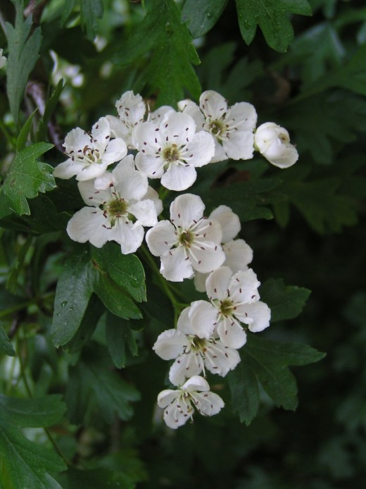 HAWTHORN FLOWERS ARE COMMON PLACE IN THE ENGLISH COUNTRYSIDE. PHOTOGRAPH BY EUGENE ZELENKO