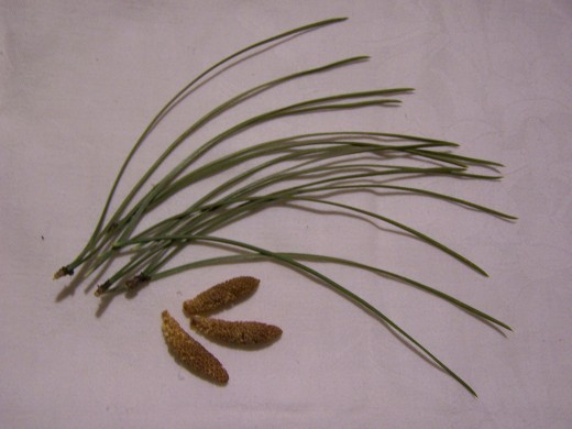 A few needles and flowers from a ponderosa pine.