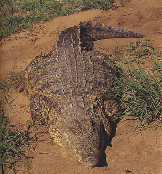 Largest Crocodile Ever Killed Biggest croc e.