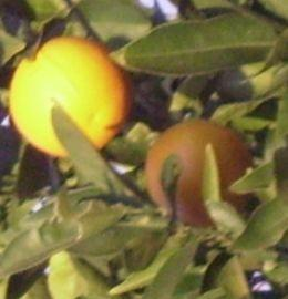 Oranges a traditional Chinese New Year Fruit symbolizing abundance and happiness