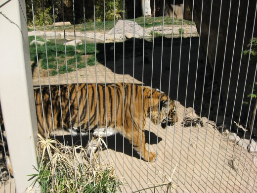 Tiger at Reid Park Zoo in Tucson